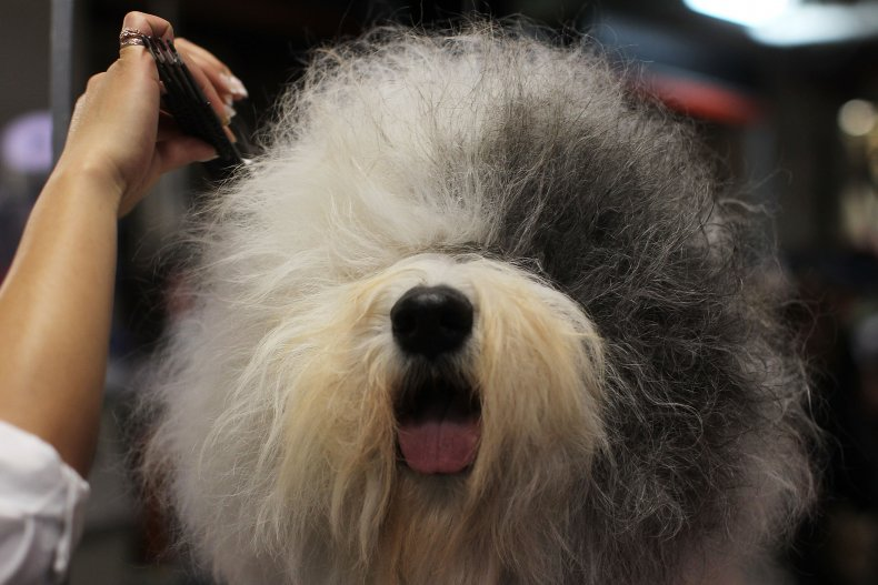 Old English sheepdog NYC dog show 2011