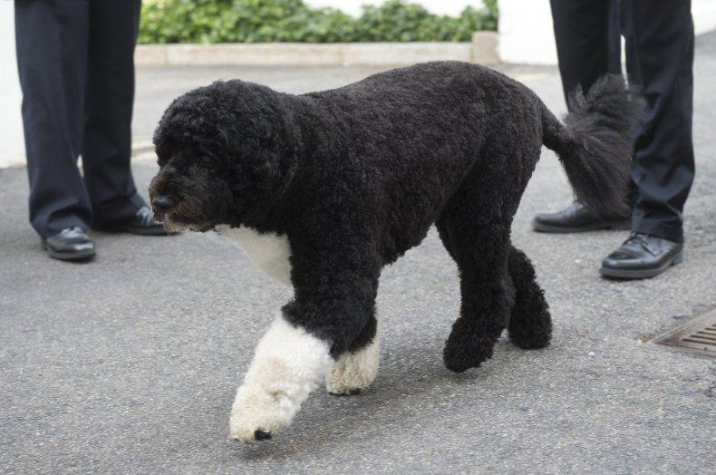 Bo Barack Obama Portuguese water dog