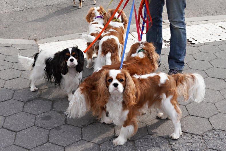 Cavalier King Charles Spaniel dogs NYC
