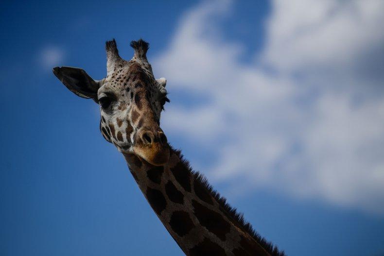 A Reticulated Giraffe in Puebla, Mexico