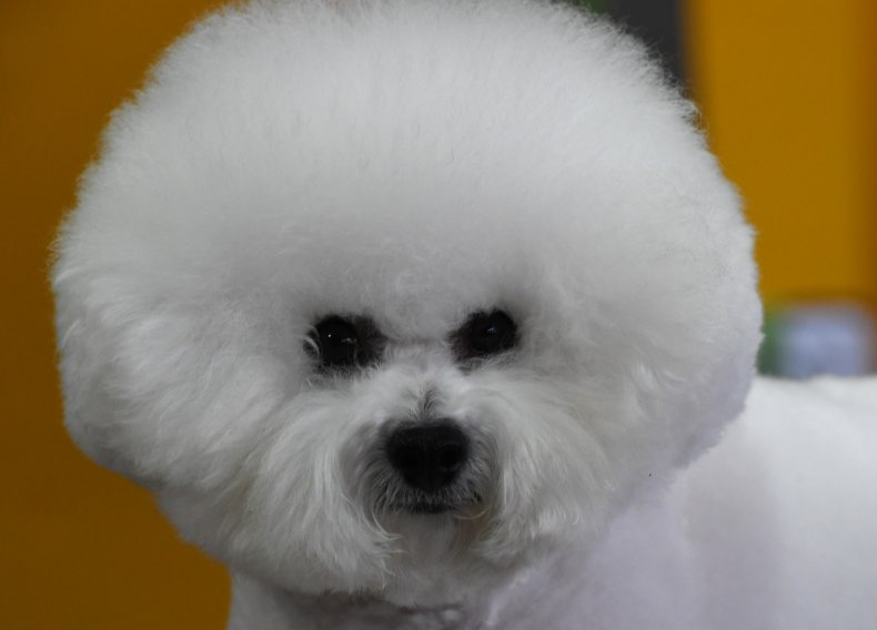 The Bichon Frise is a popular breed