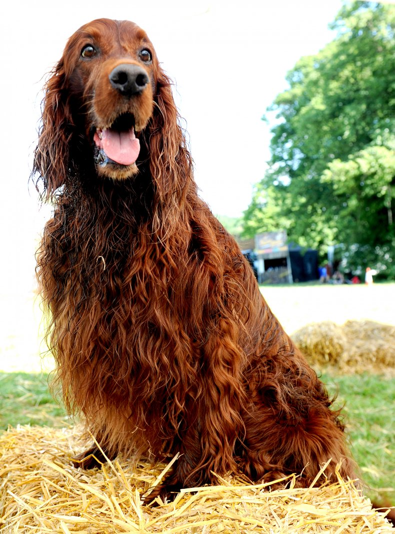 Irish Setters are known for their coats