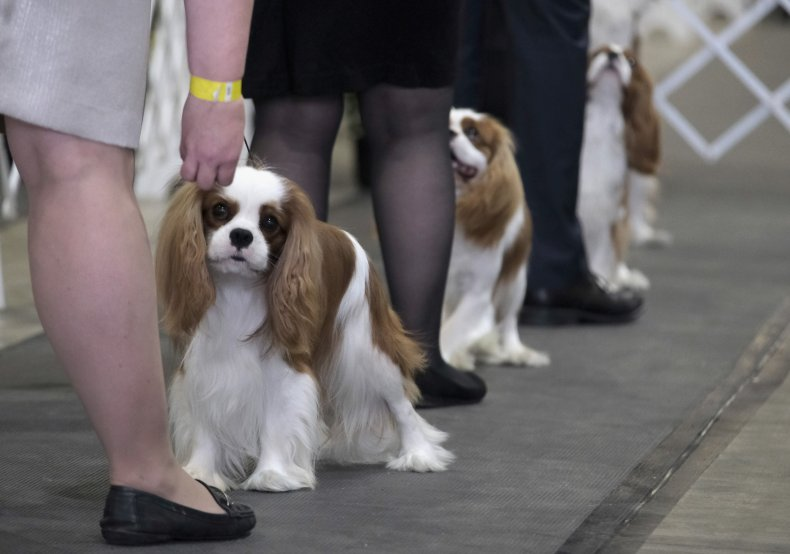 Cavalier King Charles Spaniels are beautiful dogs