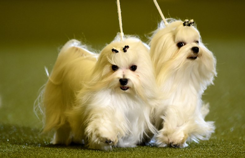 Maltese dogs have an unrivalled coat