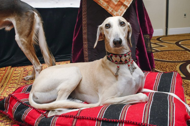 Greyhounds are kings of the race track