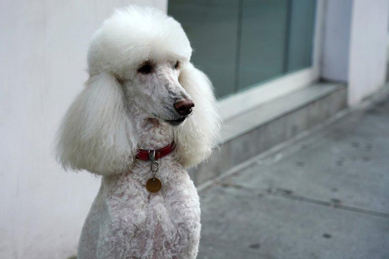 Despite their looks Poodles are not divas