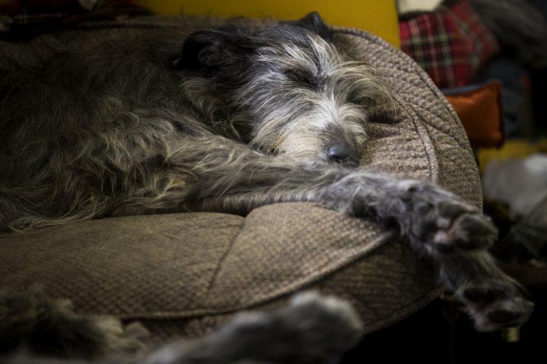 Irish Wolfhounds love a nap