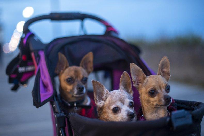 Chihuahuas are simply precious