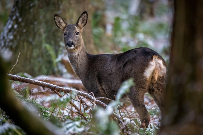 Stock: A young deer