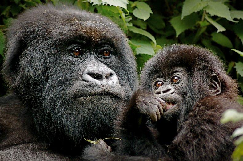 Gorillas in forest