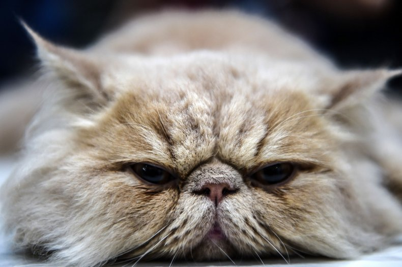 Persian Cat Turkey 2016