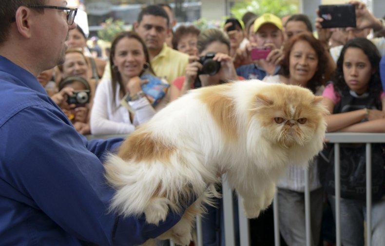 Himalayan cat 2014