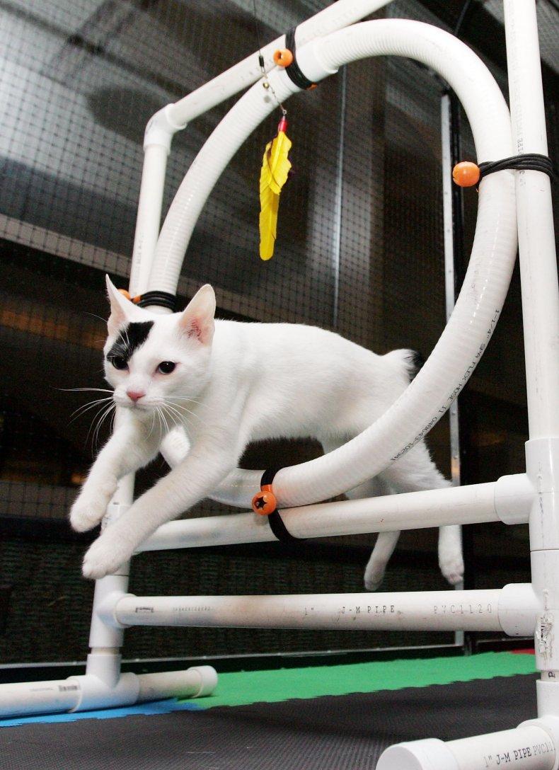 Japanese bobtail cat NYC