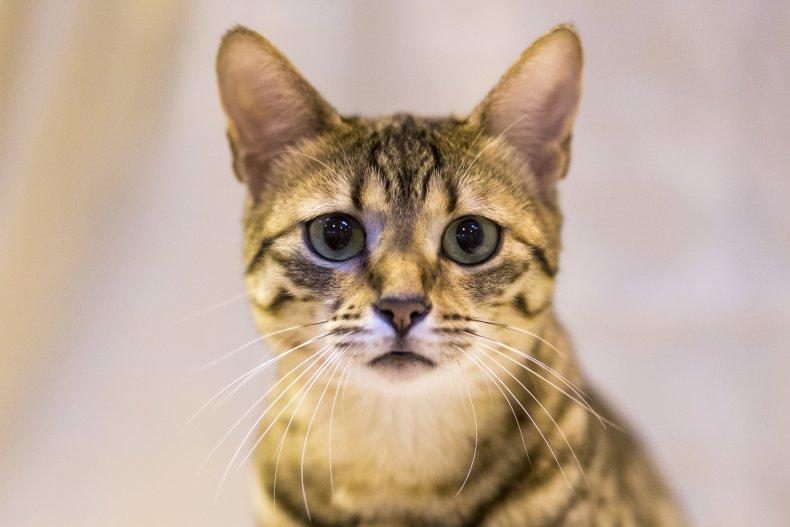Egyptian mau cat