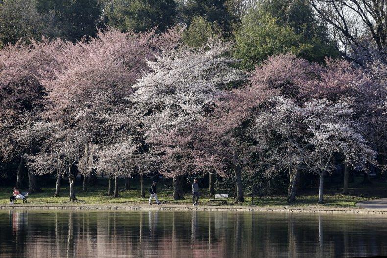 Cherry blossom trees in Washington, D.C. 2