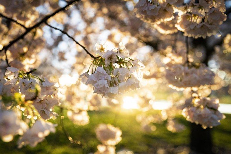 Cherry blossom trees in Washington, D.C. 3