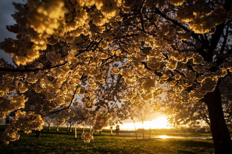 Cherry blossom trees in Washington, D.C. 4