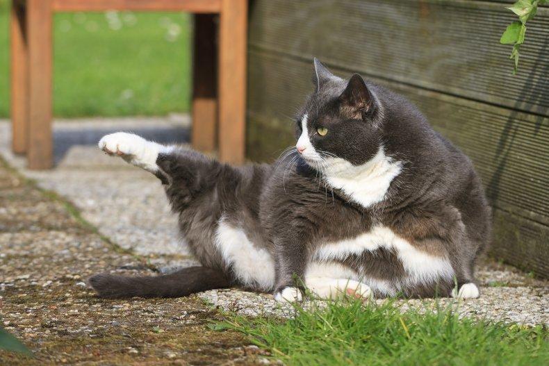 Missing Tuxedo Cat Chimney Pet Rescue Found