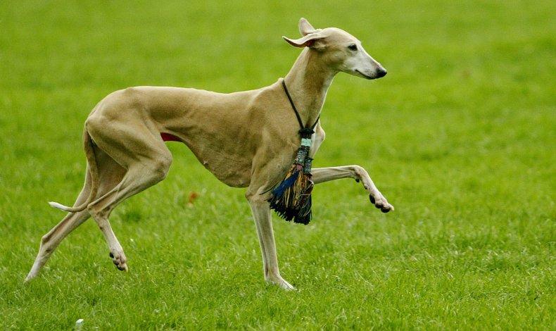 Azawakh dog in London 2004