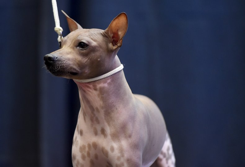 American hairless terrier NYC 2017