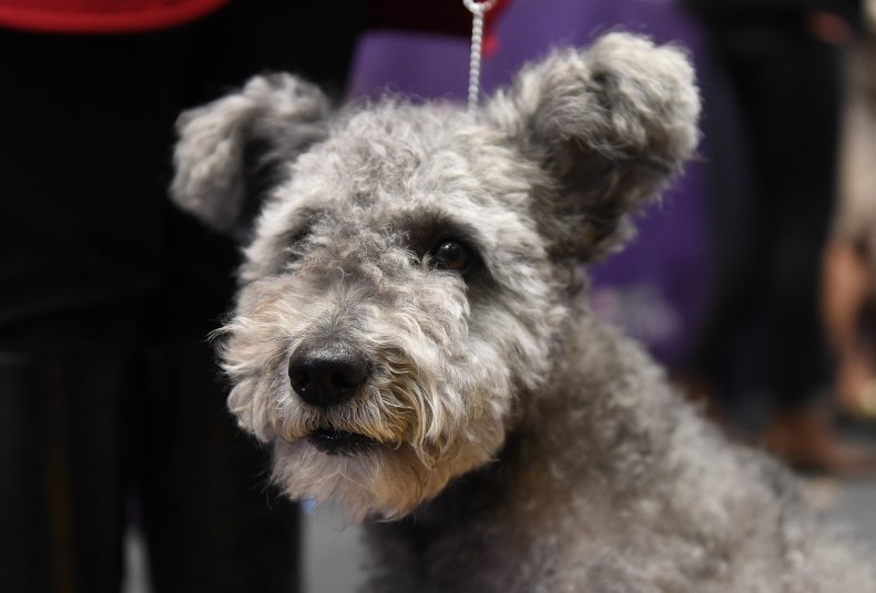 pumi dog NYC 2017