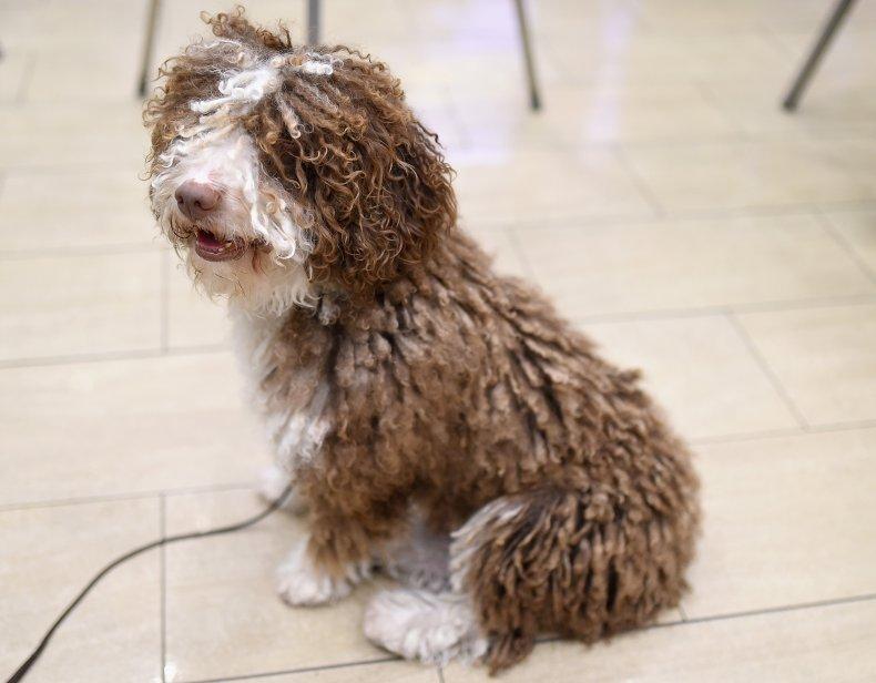 Spanish water dog NYC 2016