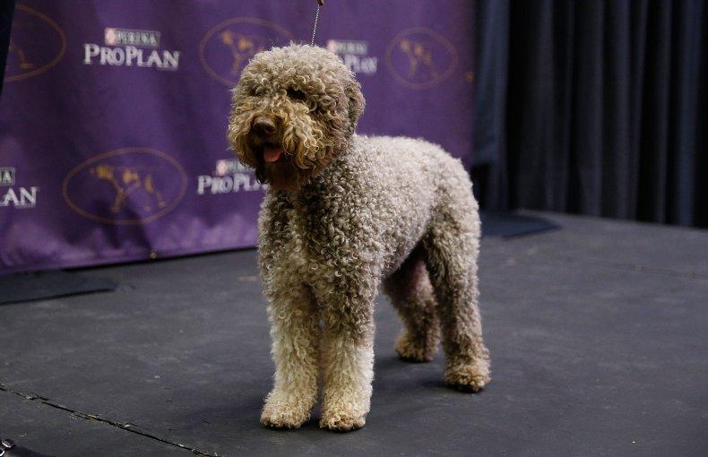 Lagotto Romagnolo NYC dog show 2016