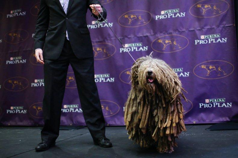 bergamasco sheepdog 2016
