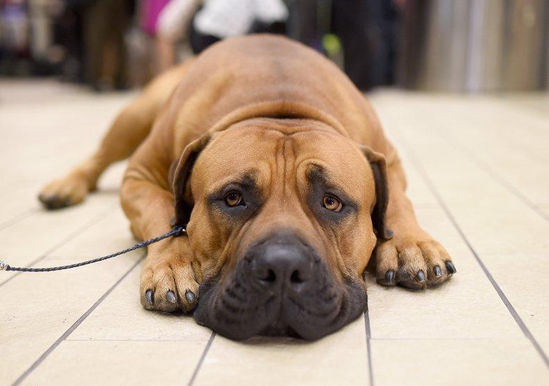 boerboel dog in NYC