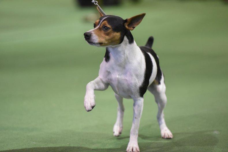 rat terrier NYC dog show 2016