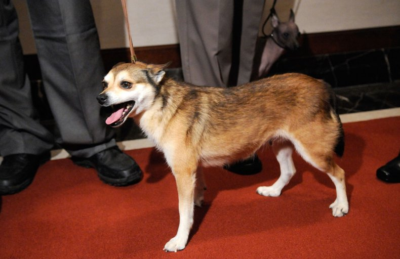 Norwegian lundehund at AKC event NYC