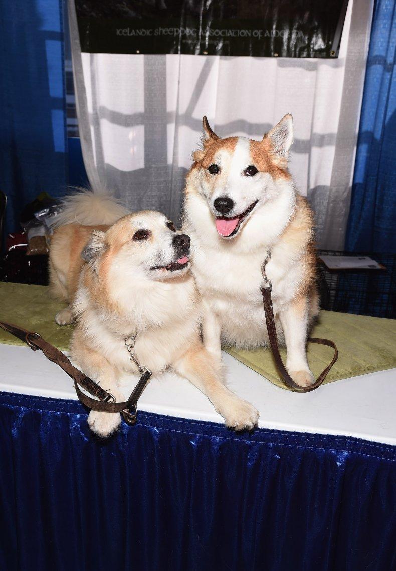 Icelandic sheepdogs NYC