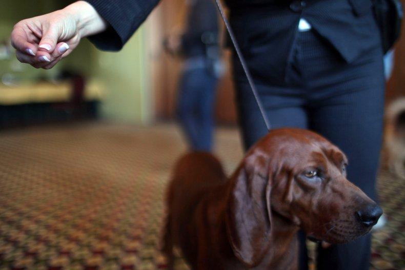 redbone coonhound NYC dog show 2011