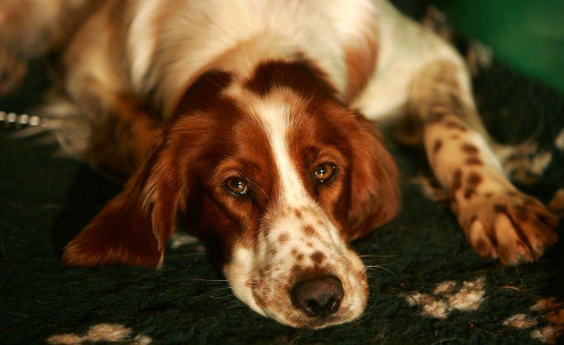 Irish red and white setter dog U.K.