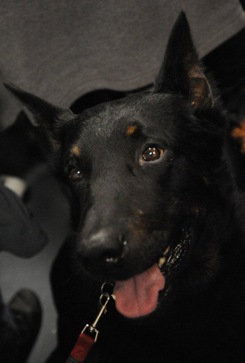 beauceron dog NYC