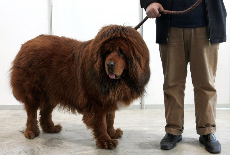 Tibetan mastiff in China 2005