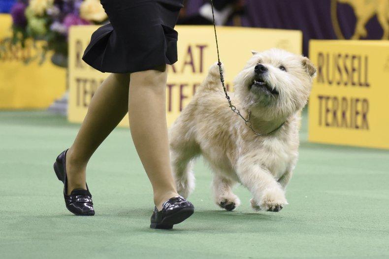 glen of Imaal terrier dog NYC