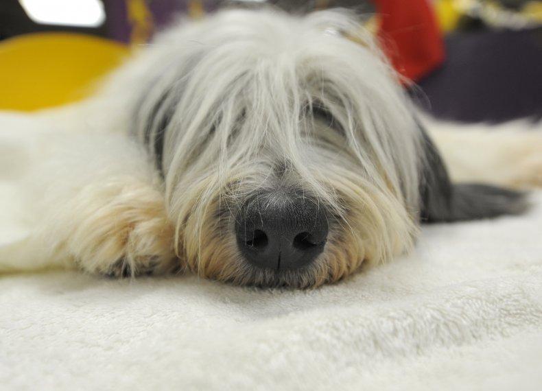 Polish lowland sheepdog NYC