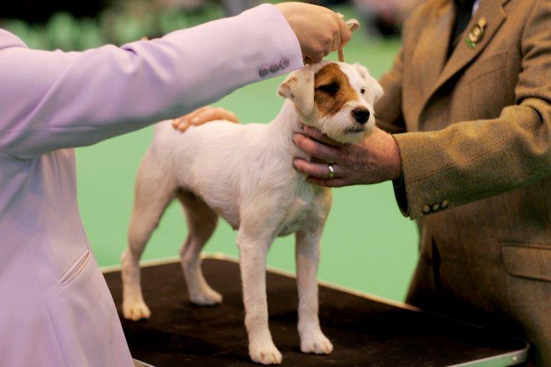 Parson Russell terrier U.K.