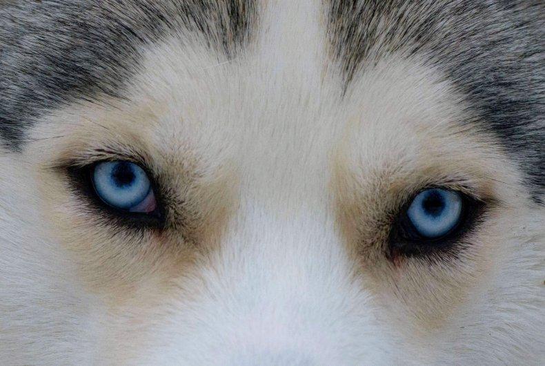 Husky Eyes Close Ups