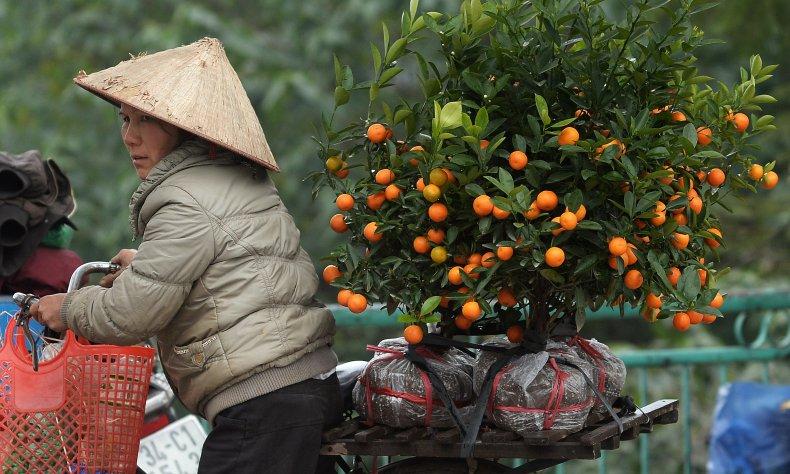 kumquat trees in Hanoi