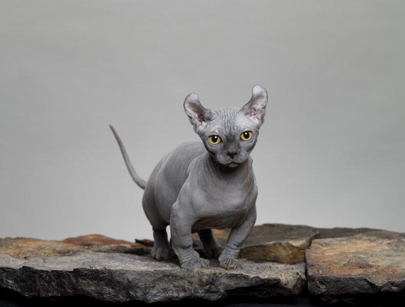 Grey Dwelf Cat
