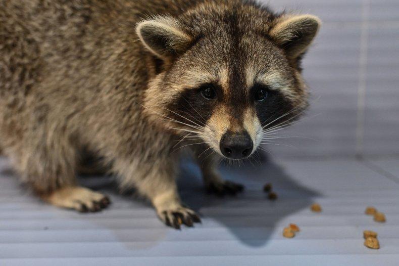 Raccoon inside coffee shop in Shanghai