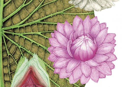 CUL_Map_Plants_water-lily