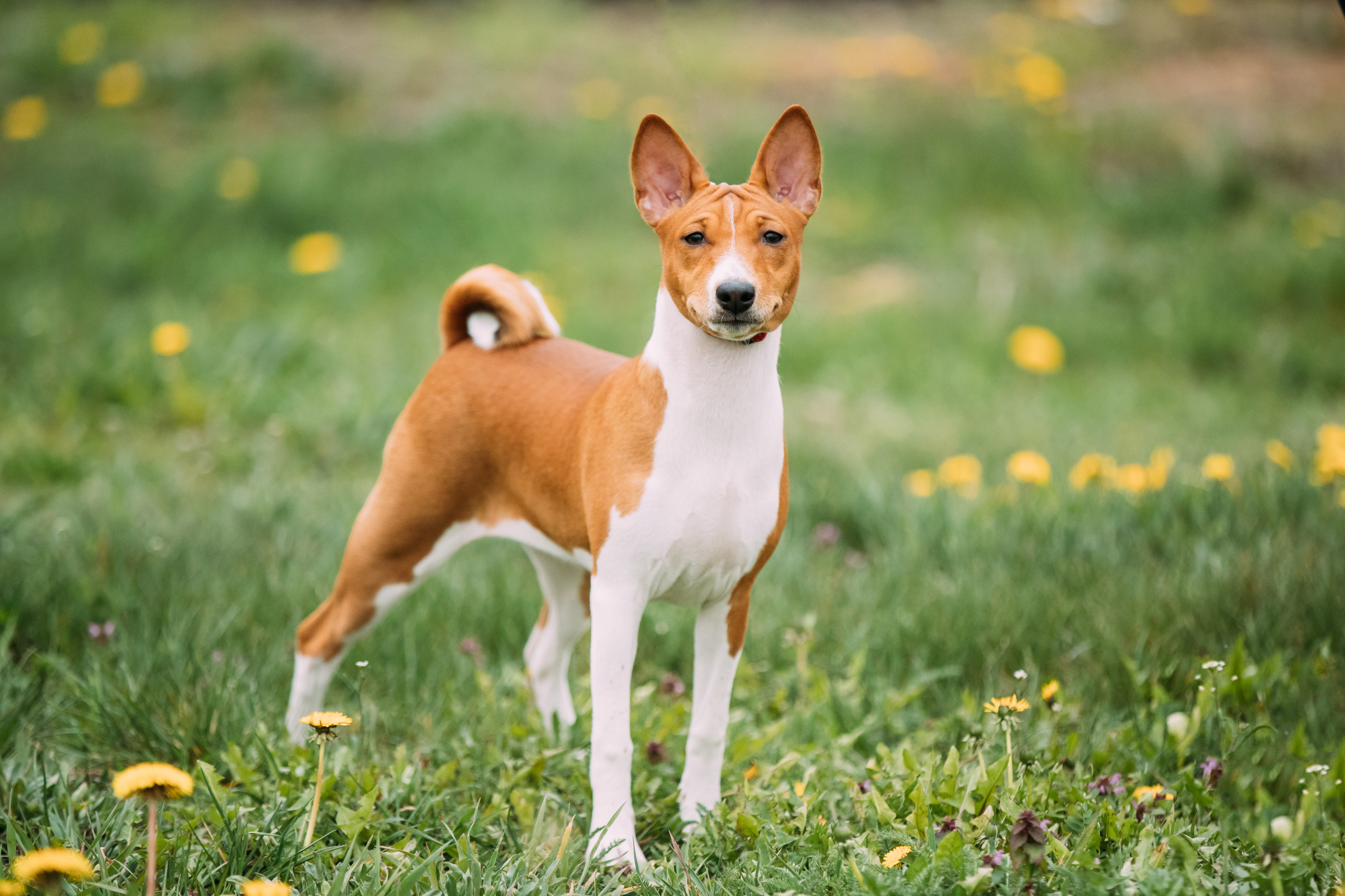 Massachusetts Basenji Dog Missing Since 2016 Returned to Owner 9 Miles Away thumbnail