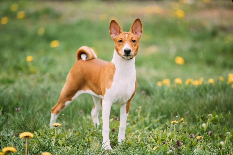 Missing Dog Found Massachusetts Basenji