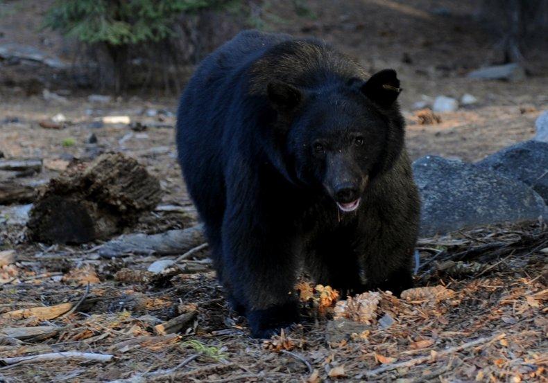 A black bear in California