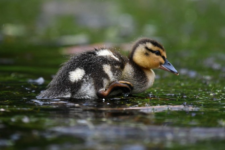 A duckling shakes water from its feathers