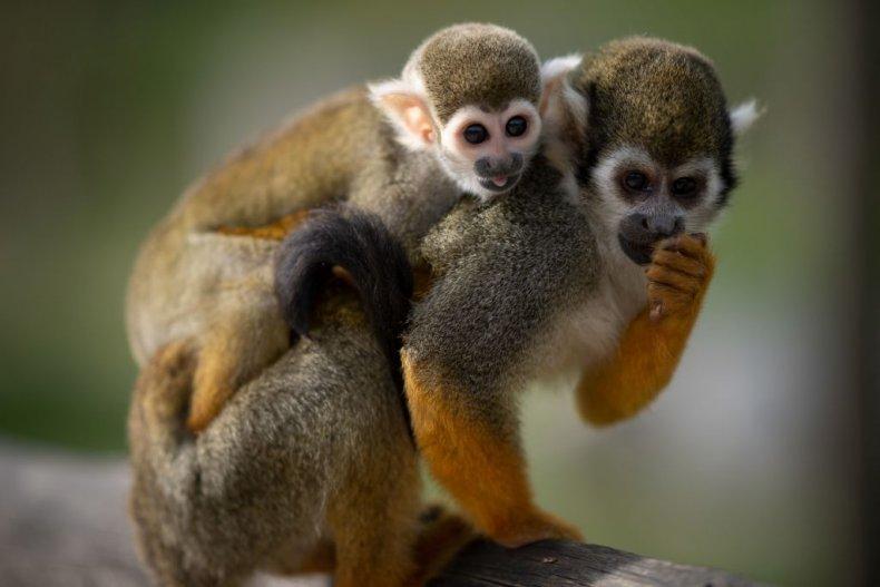 infant saimiri monkey