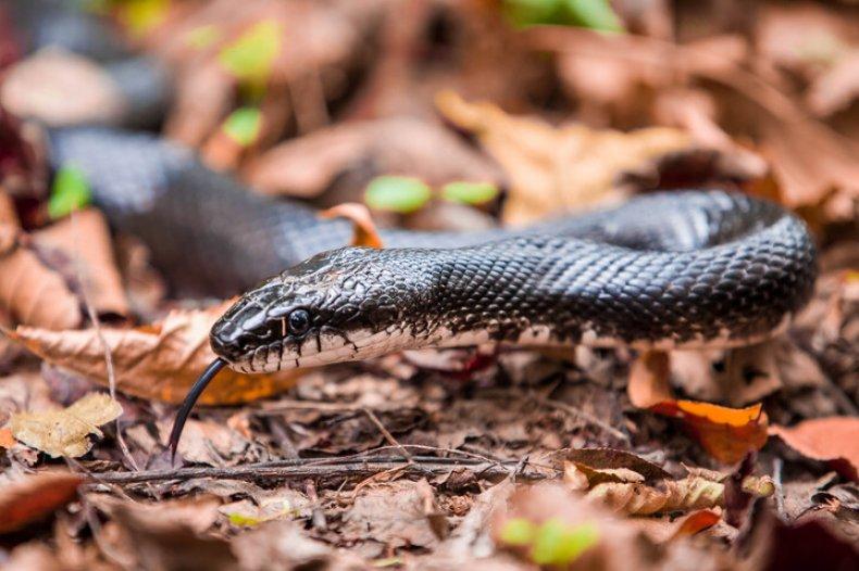 Stock photo - Black Rat Snake